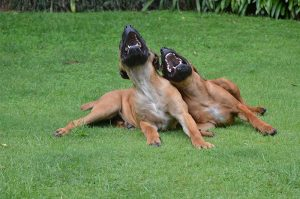 lachende Hunde