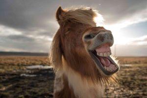Pferdekopf nah lachend